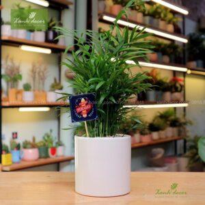 cau tiểu trâm, cau nhật, cây văn phòng, cây nội thất, cây để bàn, cây phong thủy, cây lọc không khí