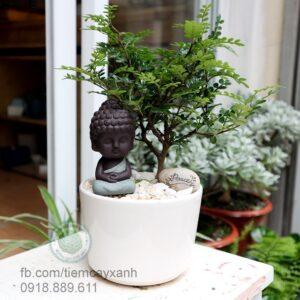 cây cần thăng, cần thăng, cây bonsai, cây phong thủy, cây nội thất, cây văn phòng