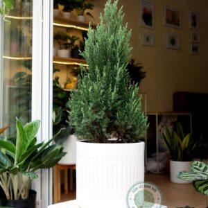 cây thông, cây thông để bàn, cây thông noel, cây thông thật, cây thông trang trí, mua cây thông hà nội, mua cây thông ở đâu