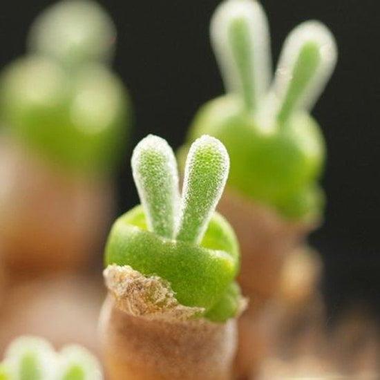Trồng cây tai thỏ cực xinh trang trí góc làm việc cho nàng công sở