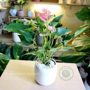 hồng môn, cây hồng môn để bàn, cây hồng môn đẹp, cây hồng môn phong thủy, chăm sóc cây hồng môn,