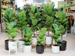 chăm sóc cây bàng singapore, chăm sóc bàng singapore, trồng bàng singapore, trồng cây bàng singapore trong văn phòng, bón phân cho cây bàng singapore, tưới nước cho cây bàng singapore, cây bàng singapore