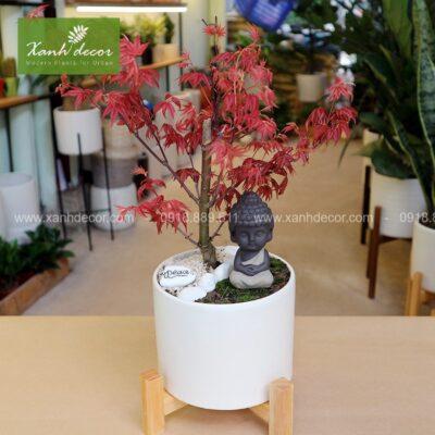 phong lá đỏ, cây phong lá đỏ, cây phong lá đỏ để bàn, mua cây phong lá đỏ hà nội