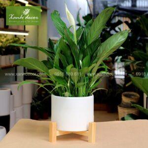 chăm sóc cây lan ý, chăm sóc lan ý, trồng lan ý, trồng cây lan ý trong văn phòng, bón phân cho cây lan ý, tưới nước cho cây lan ý
