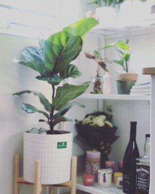 Cây bàng singapore, bàng singapore, bàng nội thất, cây bàng nội thất