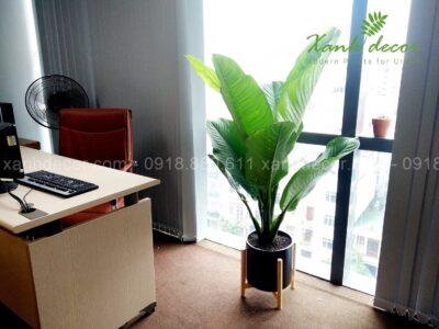 Cây đại phú gia, cây đại gia, cây đại phú gia hà nội, mua cây đại phú gia, bán cây đại phú gia, chăm sóc cây đại phú gia
