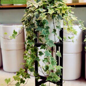 Cây thường xuân, chậu cây thường xuân rủ, mua cây thường xuân, bán cây thường xuân, mua cây thường xuân tại hà nội, chăm sóc cây thường xuân, cây thường xuân giá rẻ