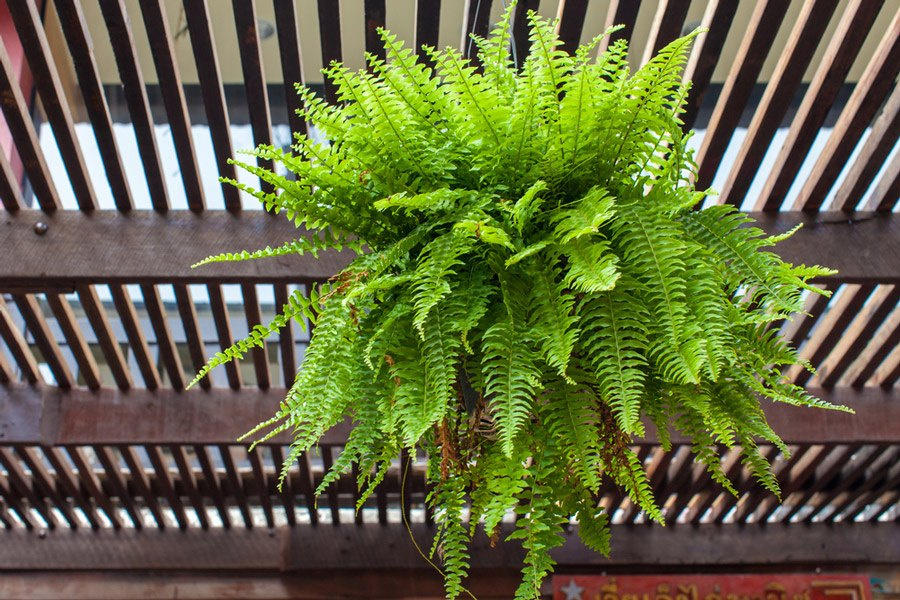 Hướng dẫn chăm sóc cây dương xỉ » Xanhdecor (Tiệm cây xanh)
