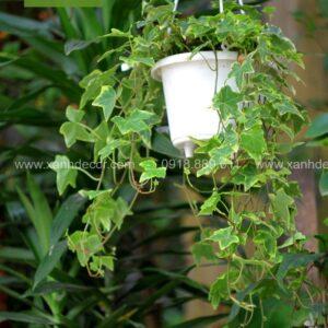 Chậu cây thường xuân treo, cây thường xuân treo, cây treo ban công, cây treo quán cafe, nhà hàng, khách sạn, nơi bán cây thường xuân, mua cây thường xuân