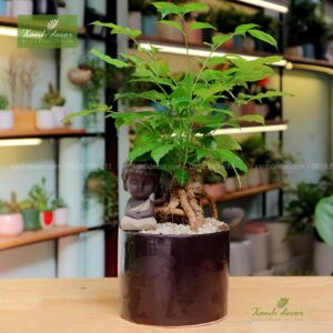 Cây hạnh phúc, cây hạnh phúc mini, cây hạnh phúc để bàn, mua cây hạnh phúc, bán cây hạnh phúc tại hà nội