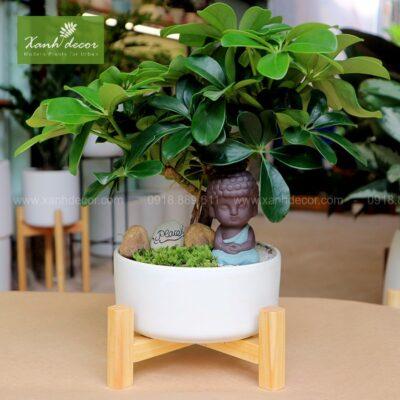 ngu gia bi, cây ngũ gia bì, cây ngũ gia bì bonsai, cây ngũ gia bì để bàn