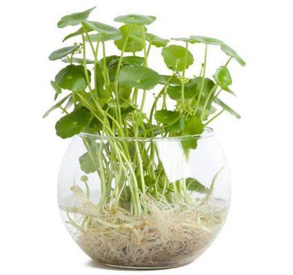 Cây cỏ đồng tiền