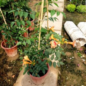 cây hoa lan tiêu, cây leo lan tiêu, cây lan tiêu, mua cây lan tiêu, bán cây lan tiêu, cây lan tiêu leo ban công