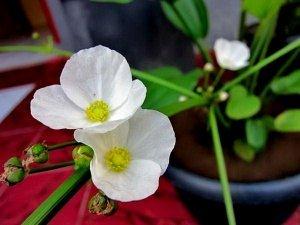 trồng hoa bách thủy tiên, cách trồng hoa bách thủy tiên, hoa bách thủy tiên, chăm soc cây bách thủy tiên