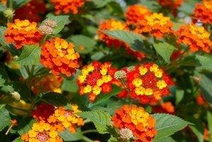 cây hoa ngũ sắc, cách trồng cây hoa ngũ sắc, hướng dẫn trồng cây hoa ngũ sắc, cách chăm sóc cây hoa ngũ sắc, kỹ thuật trồng hoa ngũ sắc