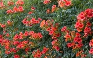Hướng dẫn trồng hoa đăng tiêu, hoa lan tiêu, hoa đăng tiêu, hoa leo giàn ban công, hoa leo giàn sân vườn, cách chăm sóc cây đăng tiêu