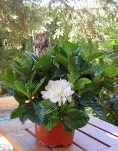 Hướng dẫn cách trồng hoa dành dành, cách trồng hoa dành dành, chăm sóc hoa dành dành, hoa dành dành, hoa bạch thiên hương