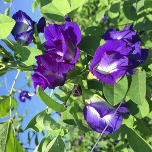 Cây đậu biếc, hoa đậu biếc, chăm sóc cây đậu biếc, trồng cây đậu biếc, hướng dẫn chăm sóc cây đậu biếc