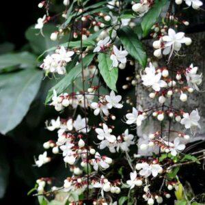 cây dạ ngọc minh châu, cách trồng cây dạ ngọc minh châu,kỹ thuật trồng cây dạ ngọc minh châu, hướng dẫn chăm sóc cây dạ ngọc minh châu