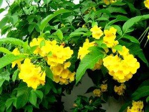 cây chuông vàng, hướng dẫn trồng cây chuông vàng, cách chăm sóc cây chuông vàng, trồng cây chuông vàng ngoài ban công