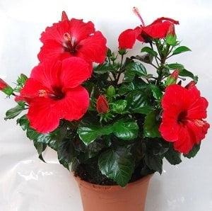 Hướng dẫn trồng hoa Dâm bụt lùn, hoa dâm bụt, trồng hoa dâm bụt, cách trồng hoa dâm bụt