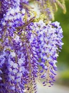 Hướng dẫn trồng cây tử đằng, cách chăm sóc cây hoa Tử đằng, cách trồng cây tử đằng, cây hoa tử đằng
