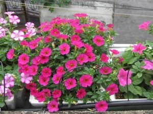 cách trồng dạ yến thảo, chăm sóc dạ yến thảo, hoa dạ yến thảo kỹ, thuật trồng dạ yến thảo