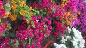 hoa giấy, kỹ thuật nhân giống hoa giấy, nhân giống hoa giấy, tạo hoa giấy nhiều màu