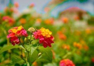 trồng hoa ngũ sắc, chăm sóc hoa ngũ sắc, chăm cây ngũ sắc, hướng dẫn chăm sóc cây ngũ sắc, nhân giống cây ngũ sắc