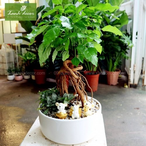 cây hạnh phúc, cây hạnh phúc để bàn, cây hạnh phúc bonsai, mua cây hạnh phúc hà nội, bán cây hạnh phúc ở hà nội