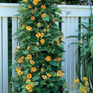 Hướng dẫn trồng và chăm sóc hoa mắt huyền từ hạt giống