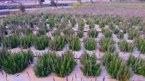 Vườn cây lavender, oải hương, chăm sóc lavender, hướng dẫn chăm sóc lavender, hướng dẫn trồng oải hương, tưới nước cho lavender, bón phân gì cho lavender