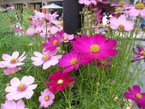 cách trồng cây hoa sao nhái, cách chăm sóc cây sao nhái, hướng dẫn chăm sóc cây sao nhái, nhân giống cây hoa sao, bón phân cho cây sao nhái