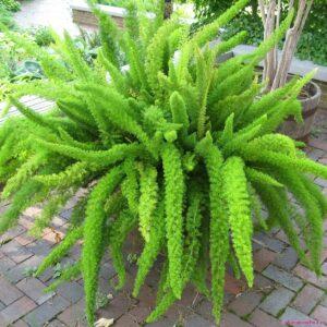 Cách trồng cây tùng đuôi chồn, cách chăm sóc cây tùng đuôi chồn, hướng dẫn trồng cây tùng đuôi chồn, nhân giống cây tùng đuôi chồn, bón phân tùng đuôi chồn