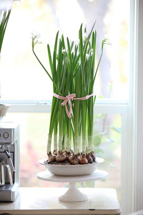 hướng dẫn trồng cây hoa thủy tiên, cách trồng cây hoa thủy tiên, chăm sóc cây hoa thủy tiên, nhân giống cây hoa thủy tiên, cây hoa thủy tiên