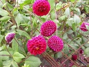 hướng dẫn trồng cây thược dược, chăm sóc cây hoa thược dược, nhân giống cây hoa thược dược, bón phân cây hoa thược dược, cây hoa thược dược