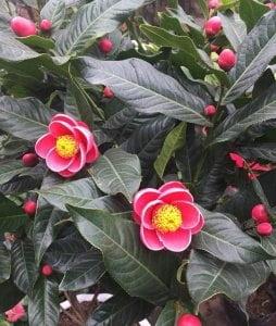 cách trồng hoa hải đường, cây hoa hải đường, hướng dẫn chăm sóc cây hoa hải đường, cách nhân giống hoa hải đường, cách cắt tỉa cành hoa hải đường