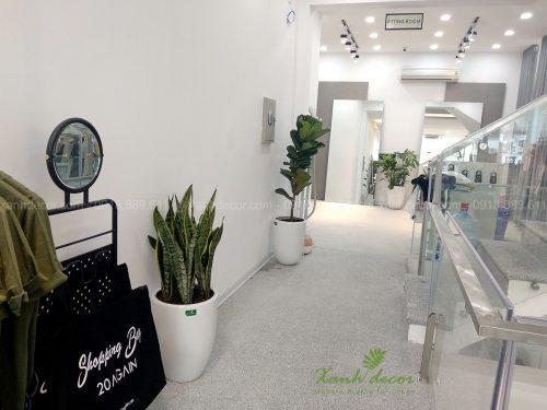 Cây lưỡi hổ trồng chậu bom sứ trang trí cửa hàng, showroom