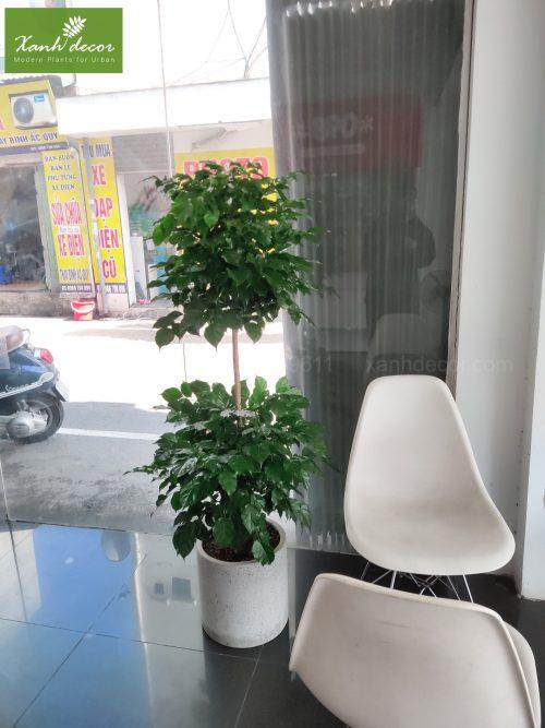 Cây hạnh phúc hai tầng trồng trong văn phòng, cửa hàng