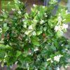 Cây nguyệt quế chậu sứ S23 trồng ban công