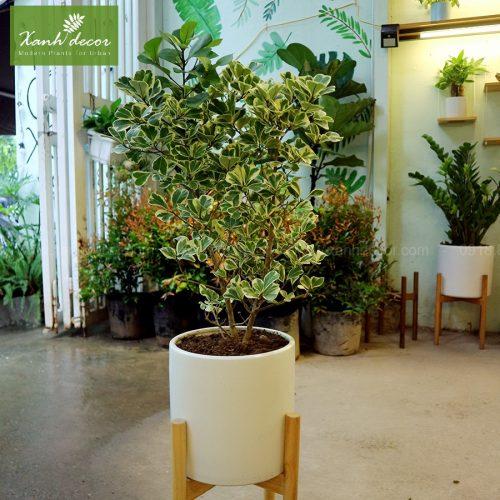 Cây bàng cẩm thạch, cây bàng lá đốm