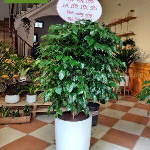 Cây hạnh phúc quà tặng cây xanh thầy cô giáo