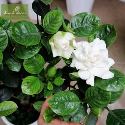 Cây hoa bạch thiên hương - dành dành trồng ban công
