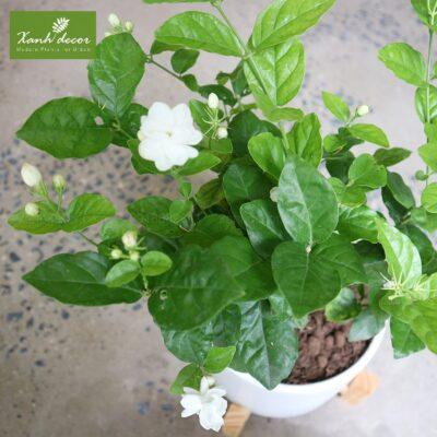 Cây hoa nhài mini để bàn