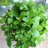 Cây hoa nhài trồng ban công