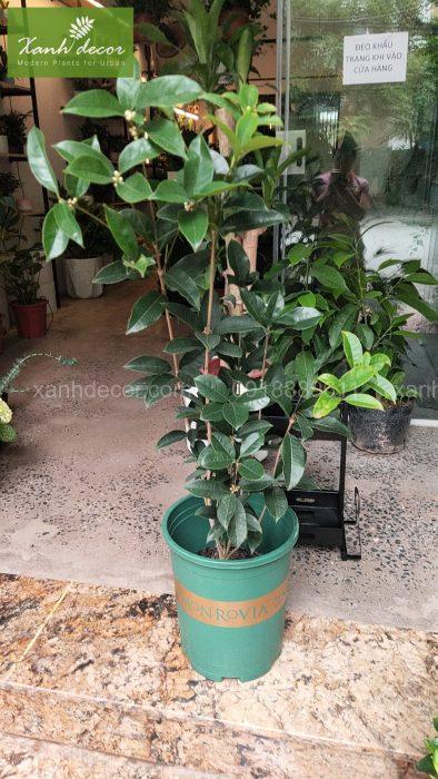 cây hoa mộc trồng ban công